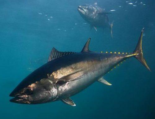 Ezt tartsd szem előtt, ha tonhalat eszel!