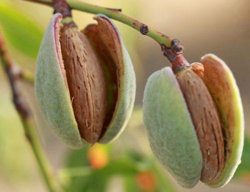 5 ok arra, hogy naponta egyél egy marék mandulát!